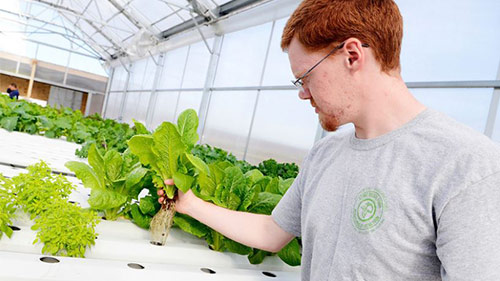 Stonebridge farm greenhouse manager Michael Suter shows off healthy hydroponic roots